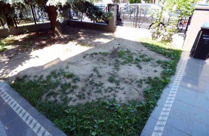 Ogoljena trava ispod smreke prije uređenja